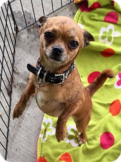 Cleveland Oh Chihuahua Meet Caramel Waffle Cone A Dog For Adoption Dog Adoption Chihuahua Pets