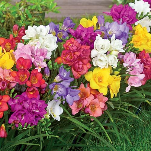 Double Freesia Mixture Breck S Flower Seeds Bulb Flowers Fresia Flower