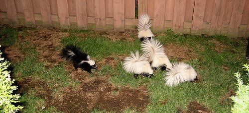 Skunks Digging Up The Yard? | Getting rid of skunks, Skunk ...