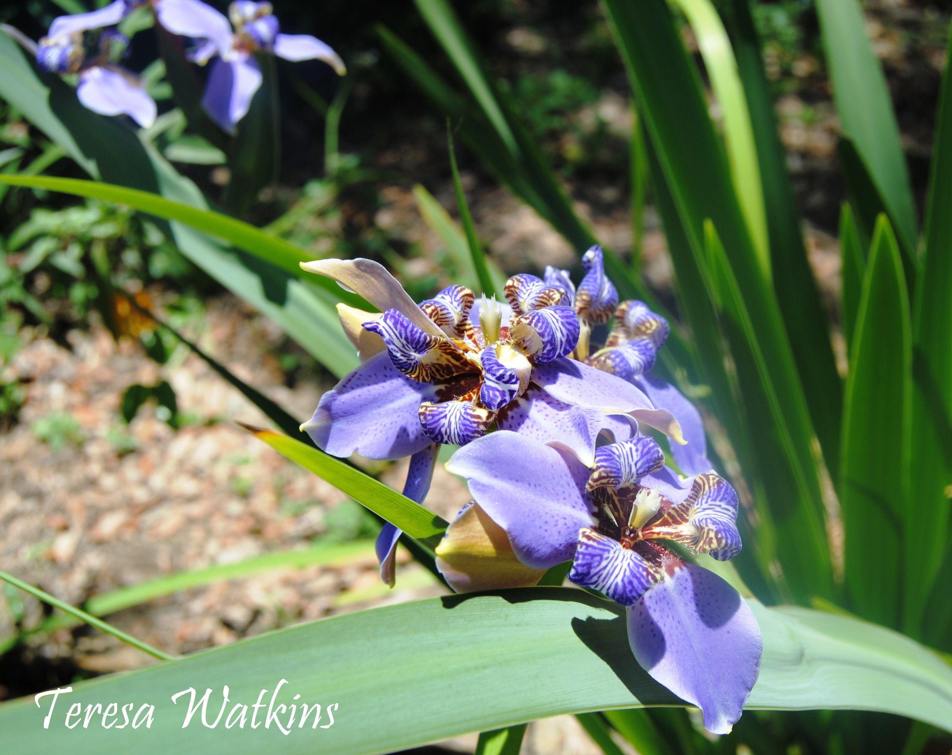 Blooming in my garden in june apostles iris walking iris flowers blooming in my garden in june apostles iris walking iris neomarica gracilis izmirmasajfo