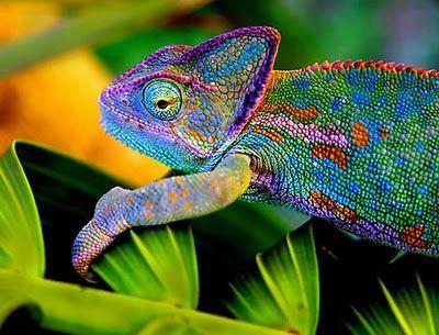 25 Colorful Chameleons Animals Beautiful Colorful Animals Animals