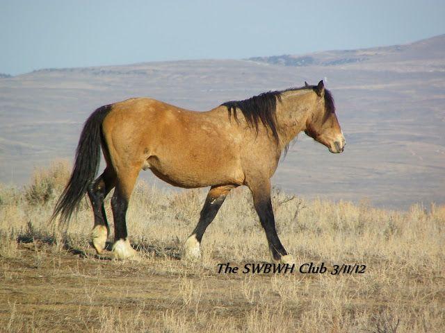 Buckskin mustang - Sand Wash Basin Wild Horses: Nomad & Feather