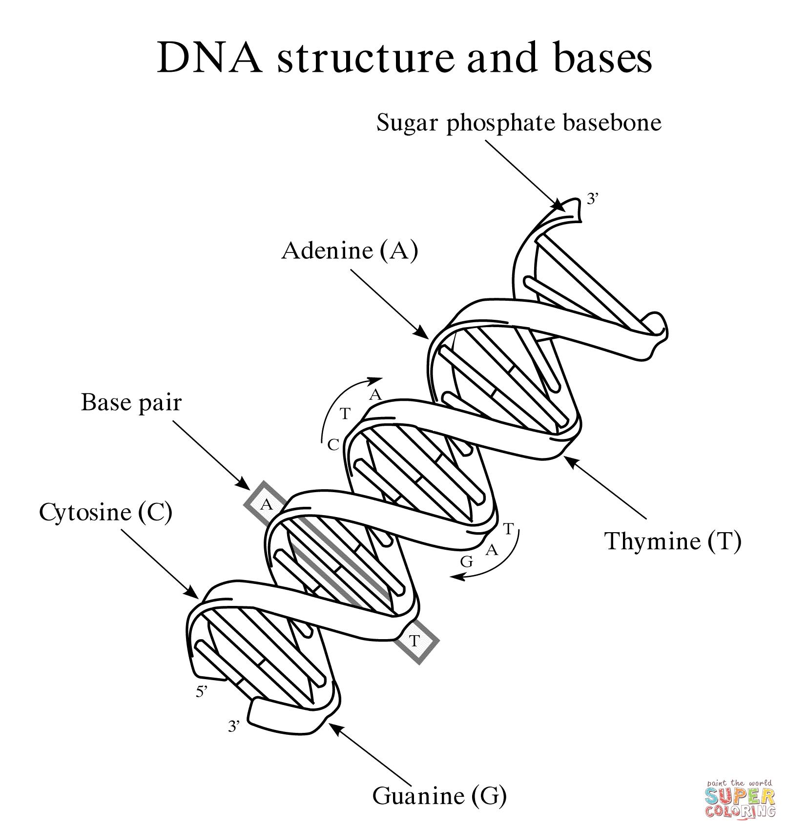 Dna Structure And Bases Super Coloring Molecule Diagram Transcription And Translation Dna Molecule [ 1702 x 1612 Pixel ]