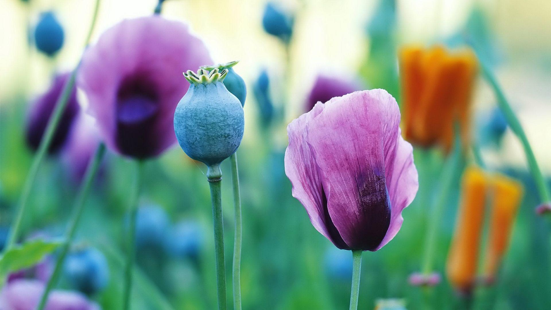 Poppies Colors Pinterest