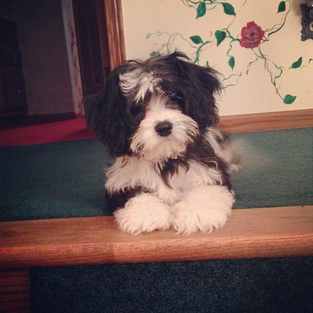 Black And White Cavachon I Think This Might Be The Only Small Dog