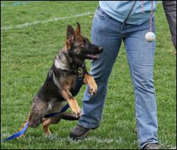 Schutzhund Ipo Training Learn About This Amazing Dog Sport