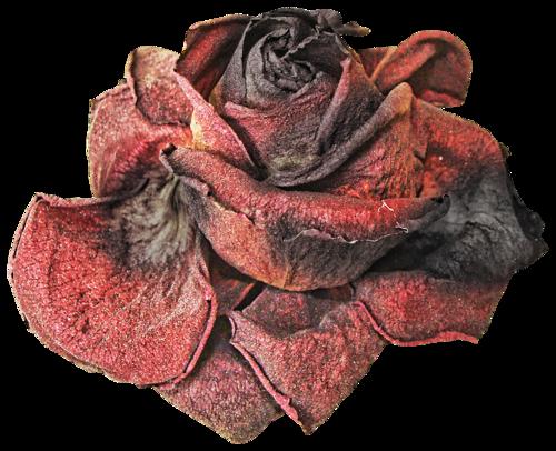 Dead Rose Png By Karahrobinson Art On Deviantart Clothes Design Still Life Photos Png