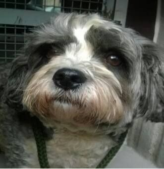 This Male Shih Tzu Was Found On Monday On Sharpe Cl London W7 He