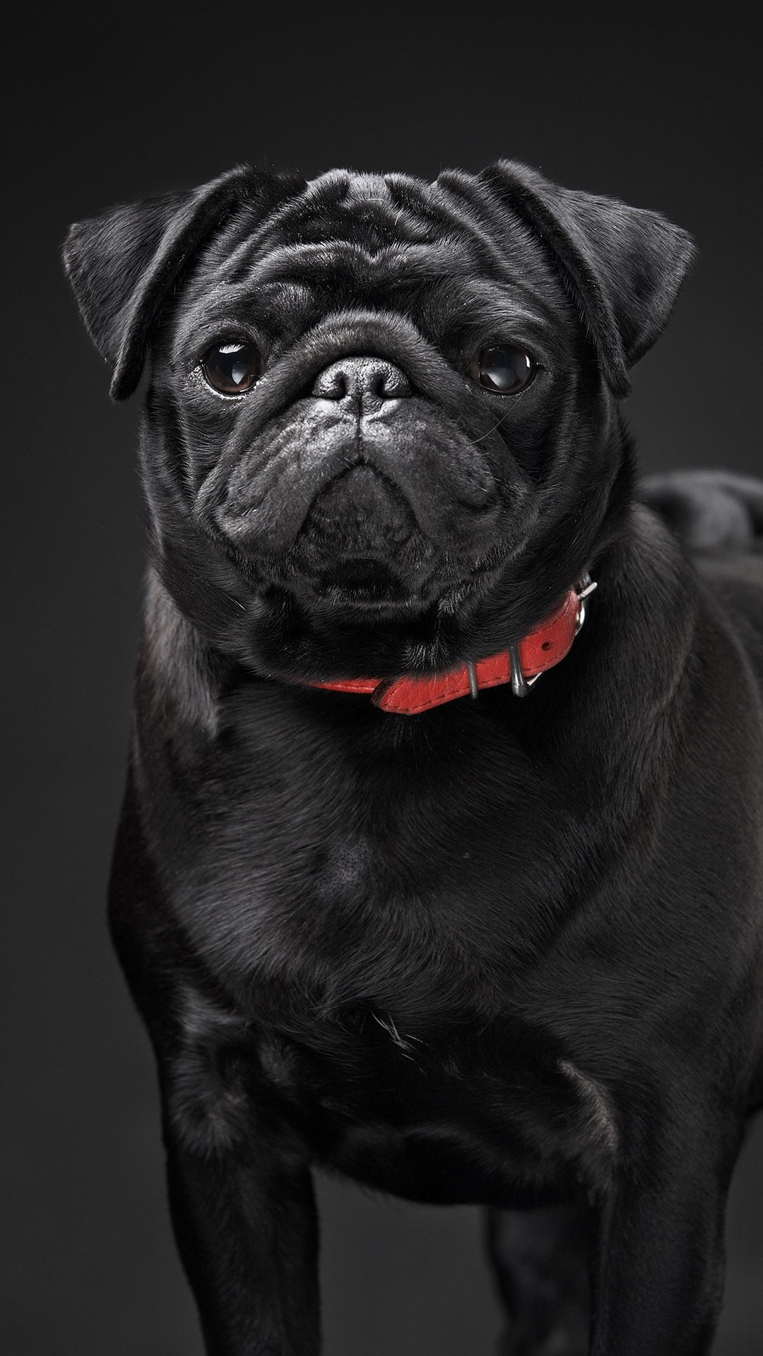 Dogs And Puppies No Fail Dog Care Tips And Tricks Baby Pugs