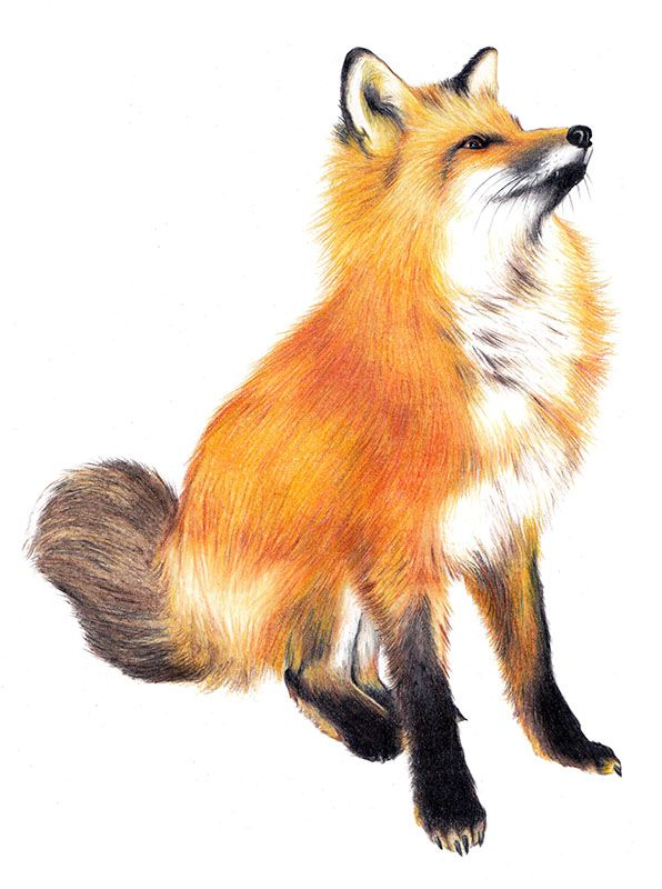 Днем, лисы картинки для детей