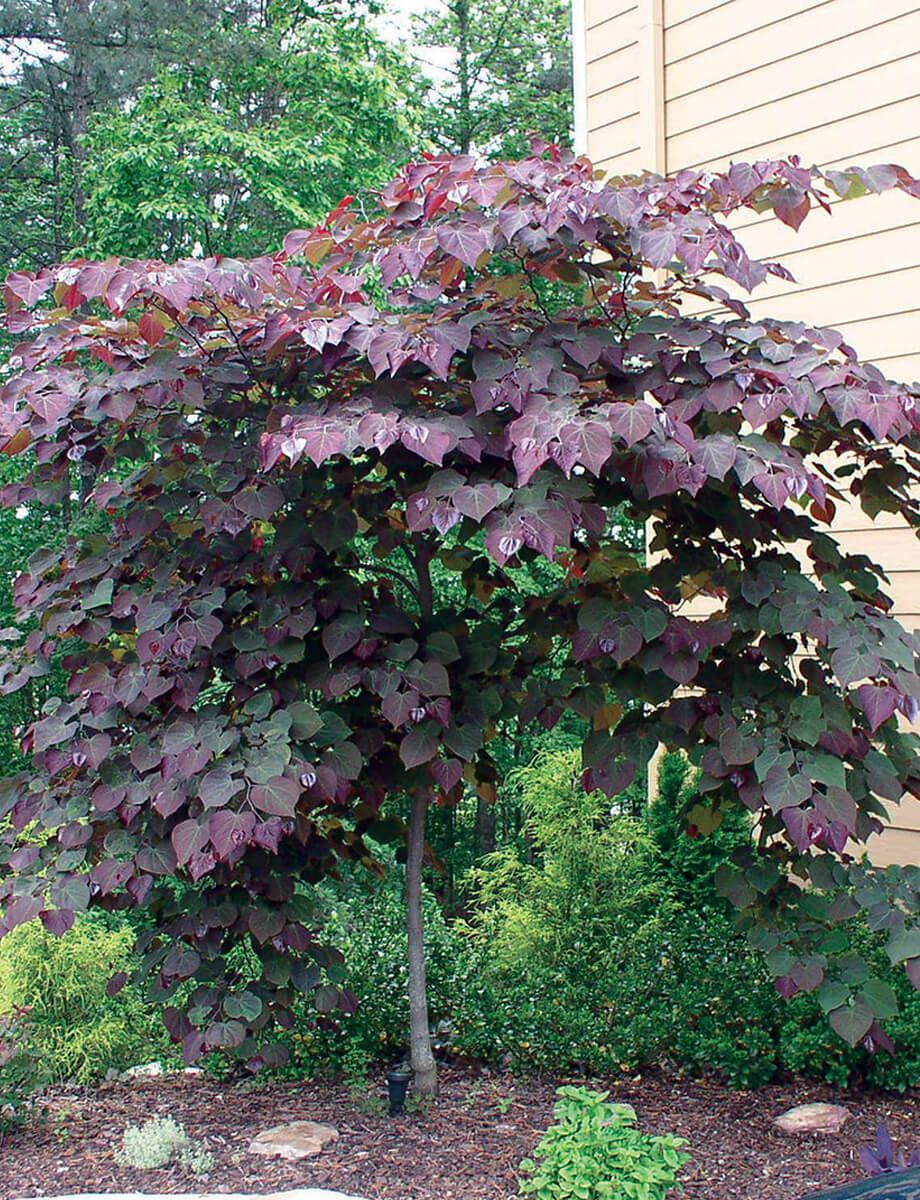 Forest P*Nsy Redbud Small Front Yard Landscaping Small 400 x 300