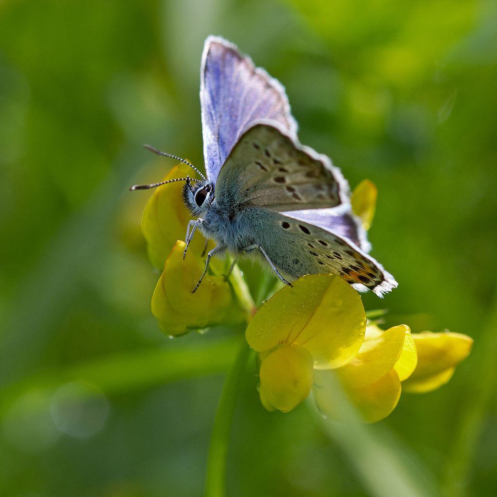 Azuré de l'ajonc posé sur des fleurs de lotier corniculé. Limousin, France.  Silver-studded Blue on a flower of birdsfoot trefoil. Limousin, France.  Explore #228