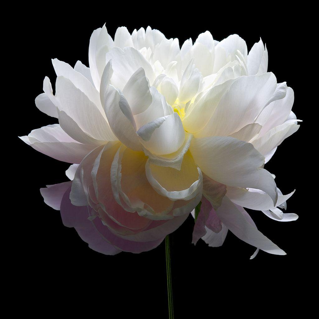 de toutes les couleurs culture gingembre fleurs peinture fleurs et pivoine. Black Bedroom Furniture Sets. Home Design Ideas