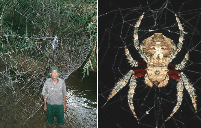 Recently Discovered Spider Can Build a 80-Foot Web! This ...