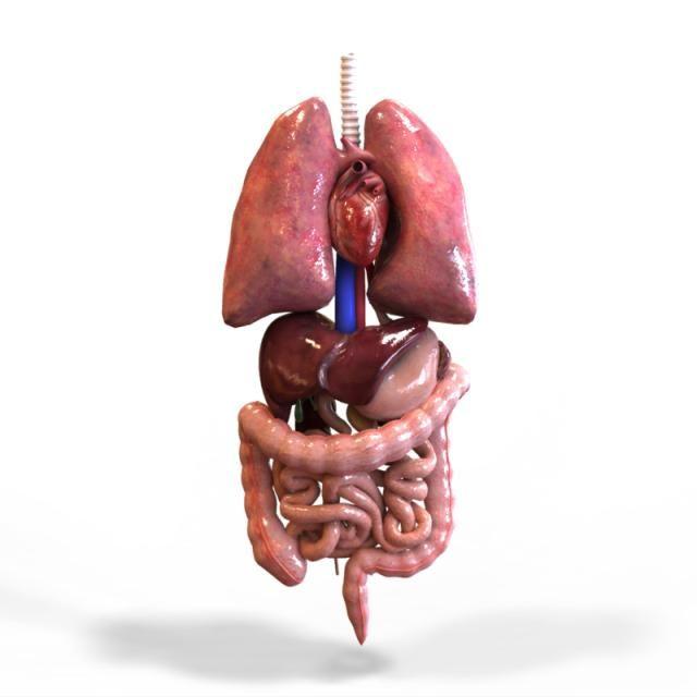 3D Model of Human Internal Organs | Model human | Pinterest | Louise ...