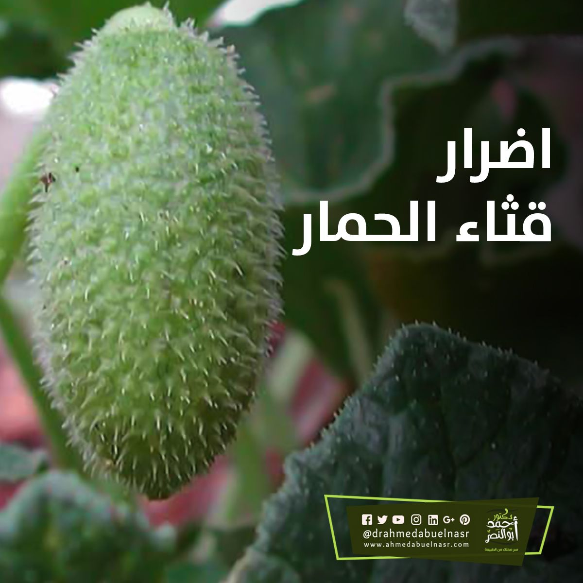اضرار قثاء الحمار Plants Flowers Dandelion