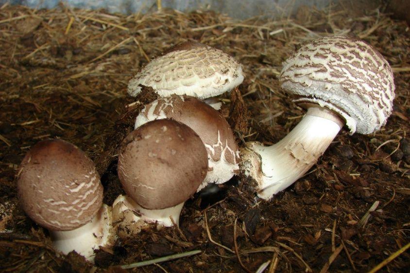 Edible Mushroom Identification |     edible? - Mushroom Hunting and