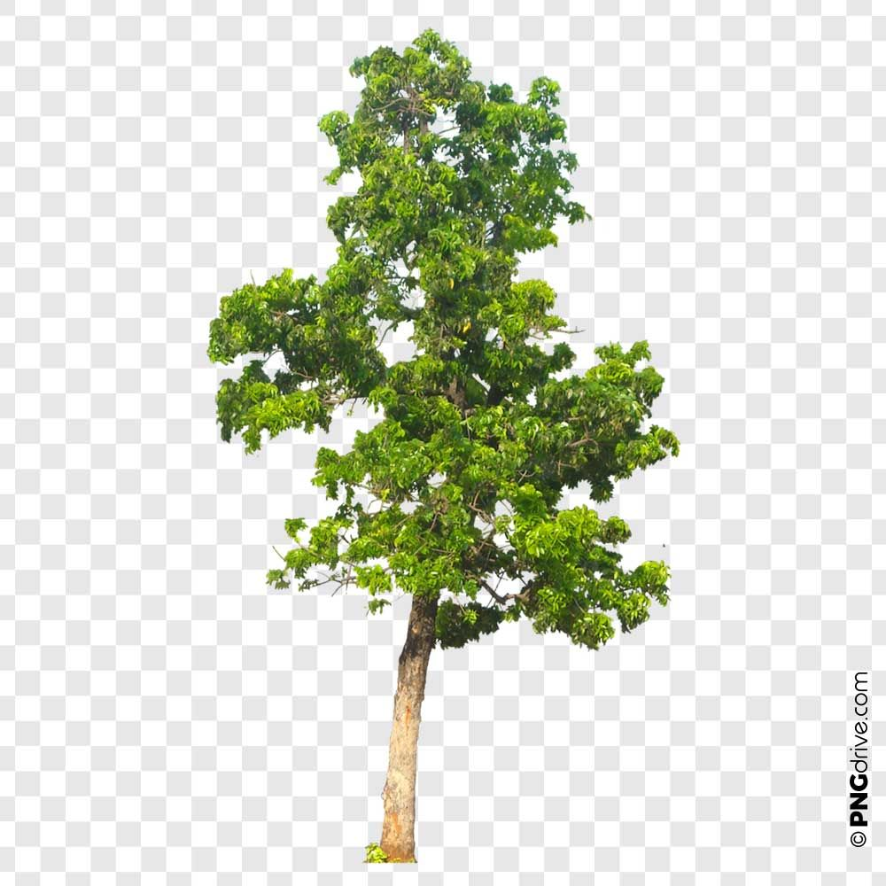 Pin By Png Drive On Trees Png Image Tree Plant Database Plants