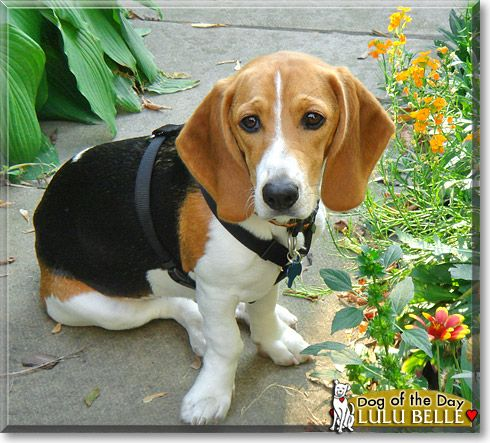 Pin By Dog Of The Day On Beagles Beagle Basset Hound Beagle Mix