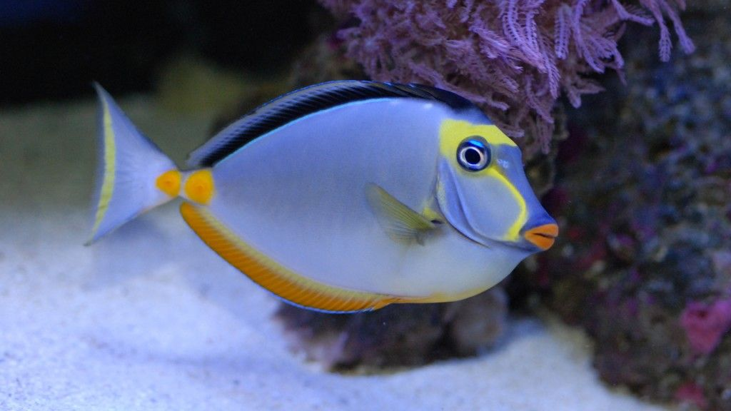 Naso tang fish wallpaper hd wallpaper fish pinterest for Tang saltwater fish