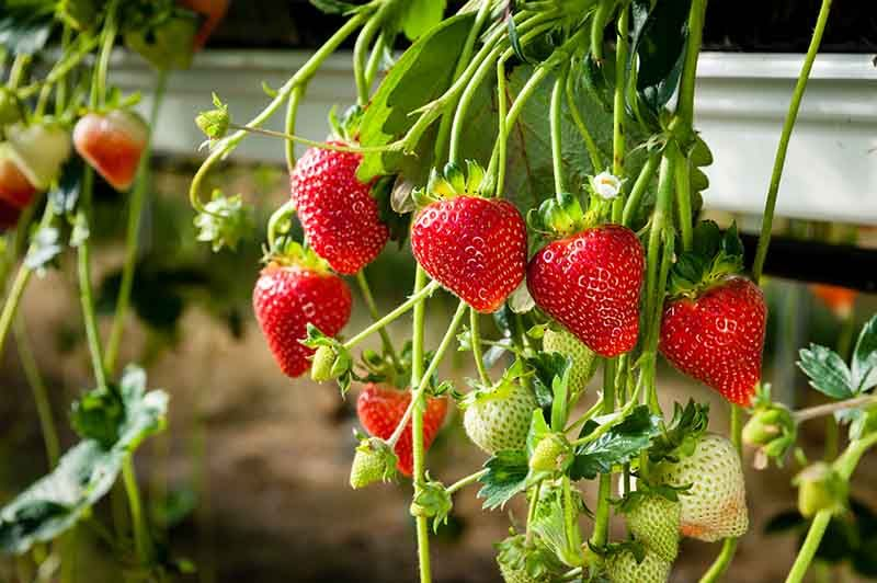 How To Grow Hydroponic Strawberries Hydroponic Strawberries Hydroponic Farming Hydroponics