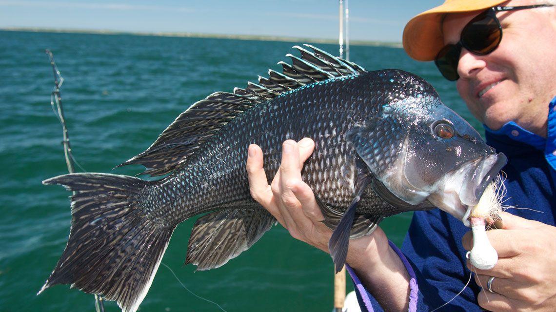 Sea bass black sea bass photo by tom richardson for Rhode island saltwater fishing license