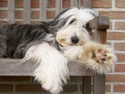 Bearded Collie Bearded Collie Dog Bearding Collie Dog