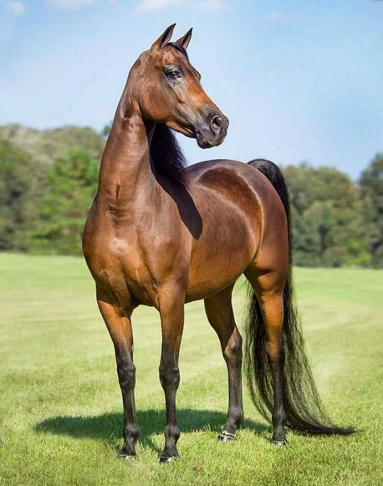 Morgan Stallion Photo Mark Barrett Horses Horse World Beautiful Horses