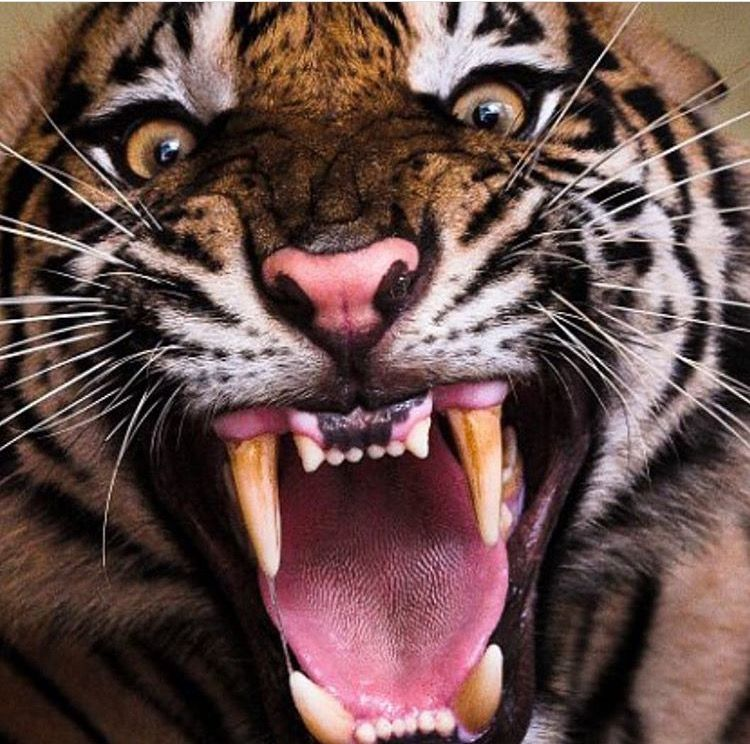 Pin by Alex Weaver on Cool Things! Big cats, Angry cat