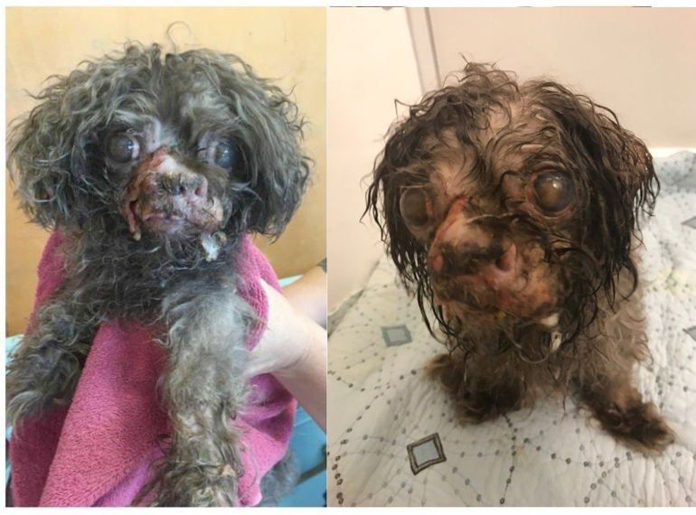 This Abused Poodle Puppy Barely Resembles A Dog But Rescuers