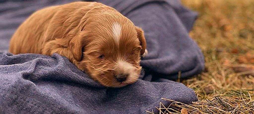 Cockapoos ⋆ Mini Doodle Dogs ⋆ Cockapoo puppies ⋆ Teacup Cockapoo