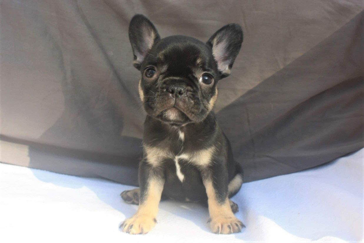 A Tiny But Mighty Frenchie French Bulldog Puppies Frenchie Puppy Animal Behaviorist