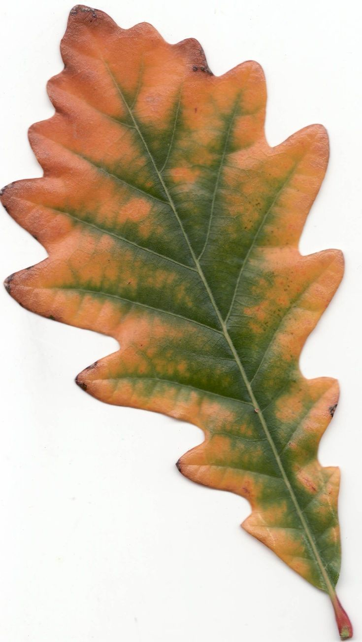 Guide To The Common Oak Tree In 2019 Oak Tree Leaves