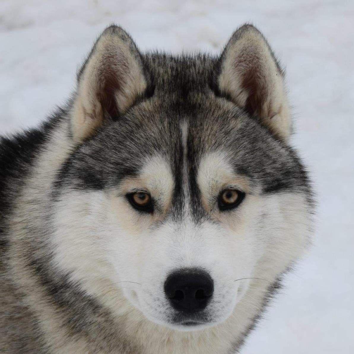 Nat Int Jr Ch Quandor Kingdom Navjord Siberian Husky Husky