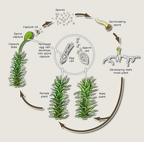 Life Cycle Of A Moss Artwork By Bruce Mahalski Flora Pinterest