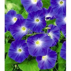 Trichterwinde 'Blue Hardy', 1 Pflanze Ipomoea indicaLidl.de