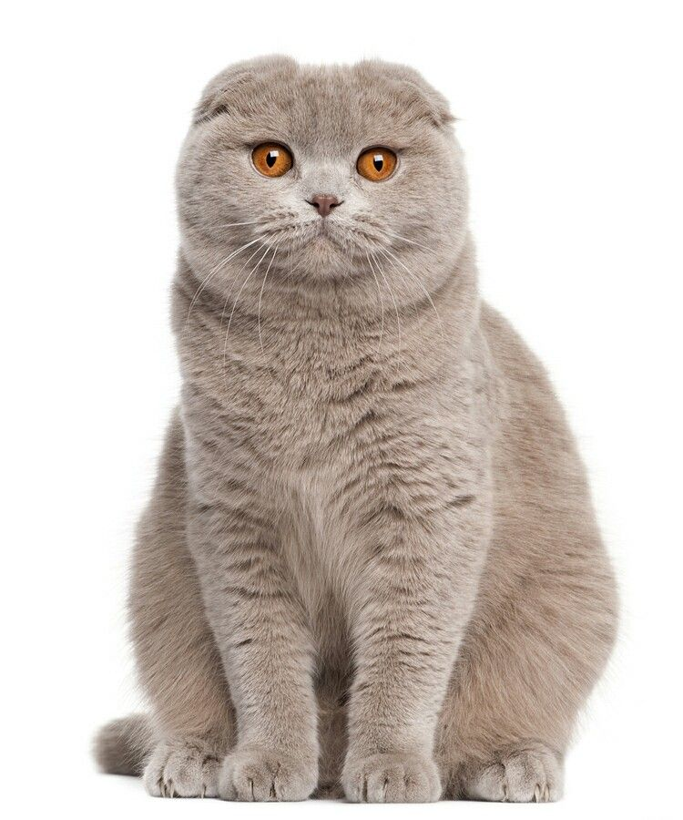 Scottish Fold Cat Scottish Fold Scottish Fold Scottish Fold Cat Kittens