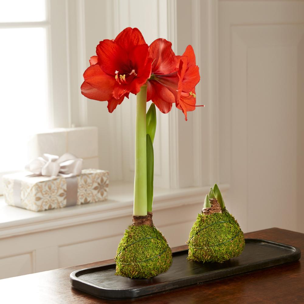 Moss Coated Wax Amaryllis Bulb Monticello Shop Amaryllis Bulbs Amaryllis Red Amaryllis