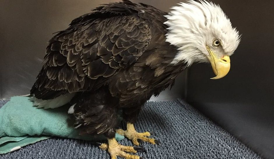 Bald Eagle Rescued In Maryland May Have Been Hit By Car Video Bald Eagle Rescue Injured Wildlife