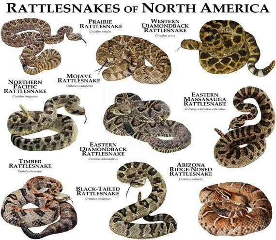 Rattlesnakes of the North America Poster Print