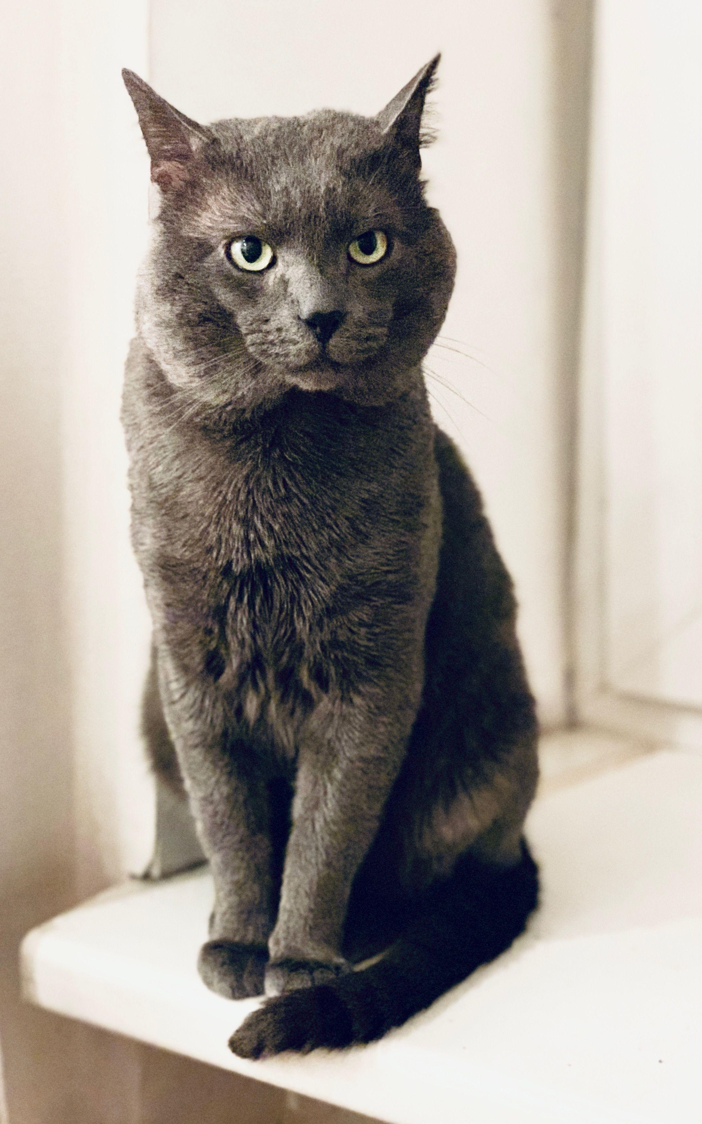 Russian Blue Cat Russian Blue Blue Cats Cats