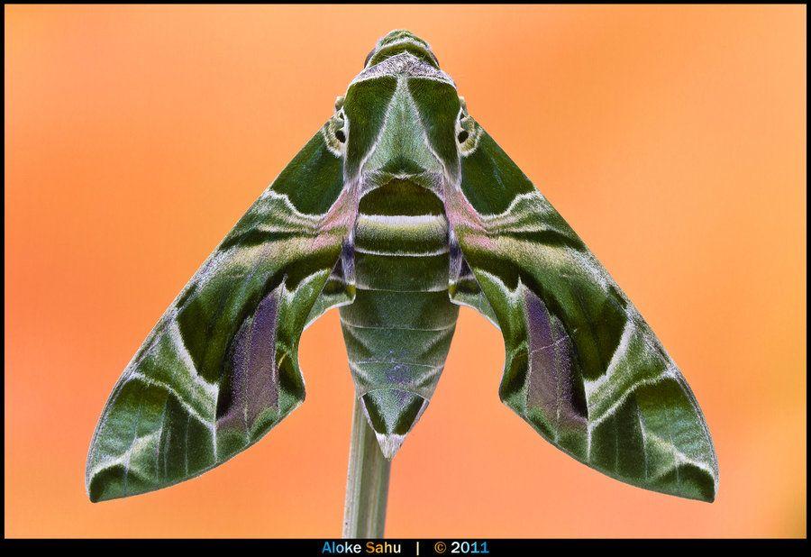 """Oleander Hawk-moth - I"" by alokethebloke.deviantart.com"