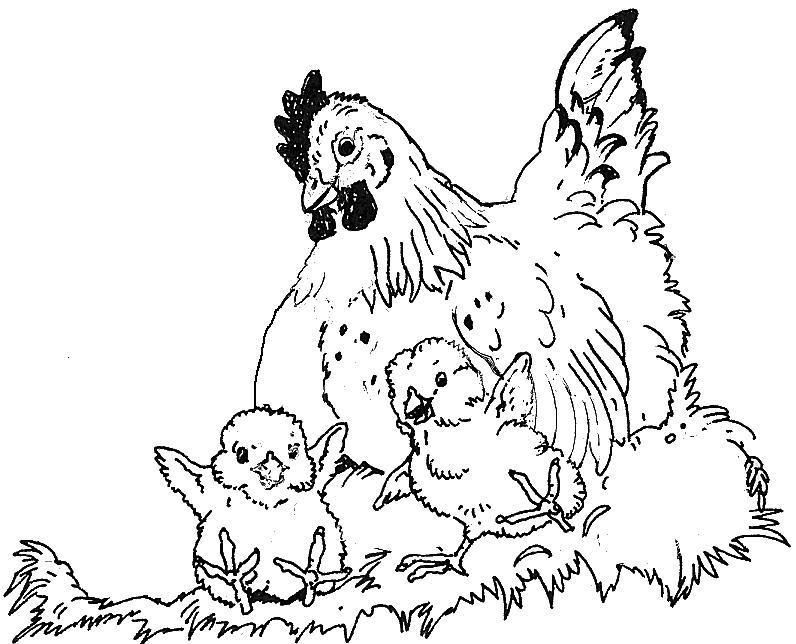 Hen N 2 Chicks 1 Jpg 796 644 Hens And Chicks Coloring Pages Chicken Coloring Book