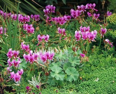 Pelargonium suburbanum, South Africa