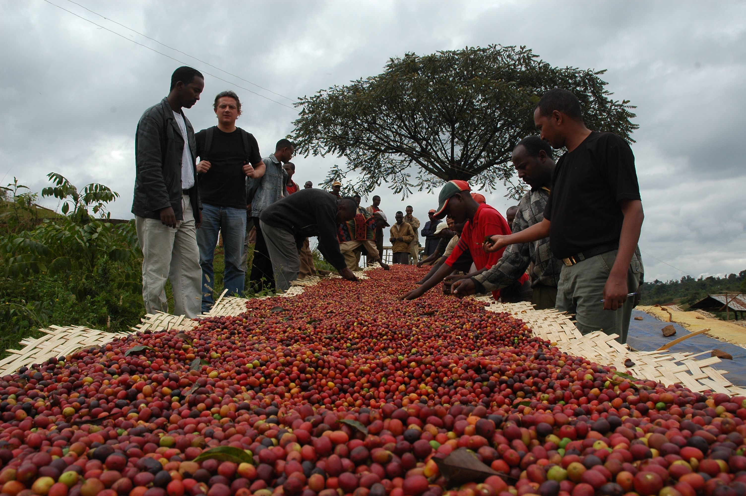 coffee consumption and production in ethiopia The earliest credible evidence of either coffee drinking or knowledge of the   ethiopia truly has the potential to increase coffee production and.