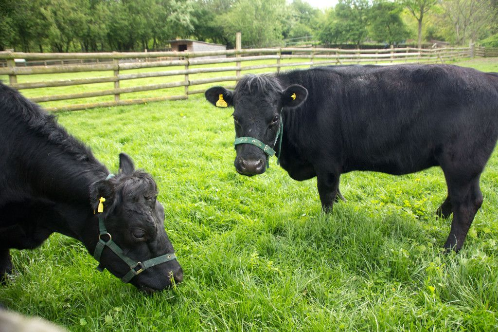 Dexter Barnyard animals, Dexter cattle, Animals