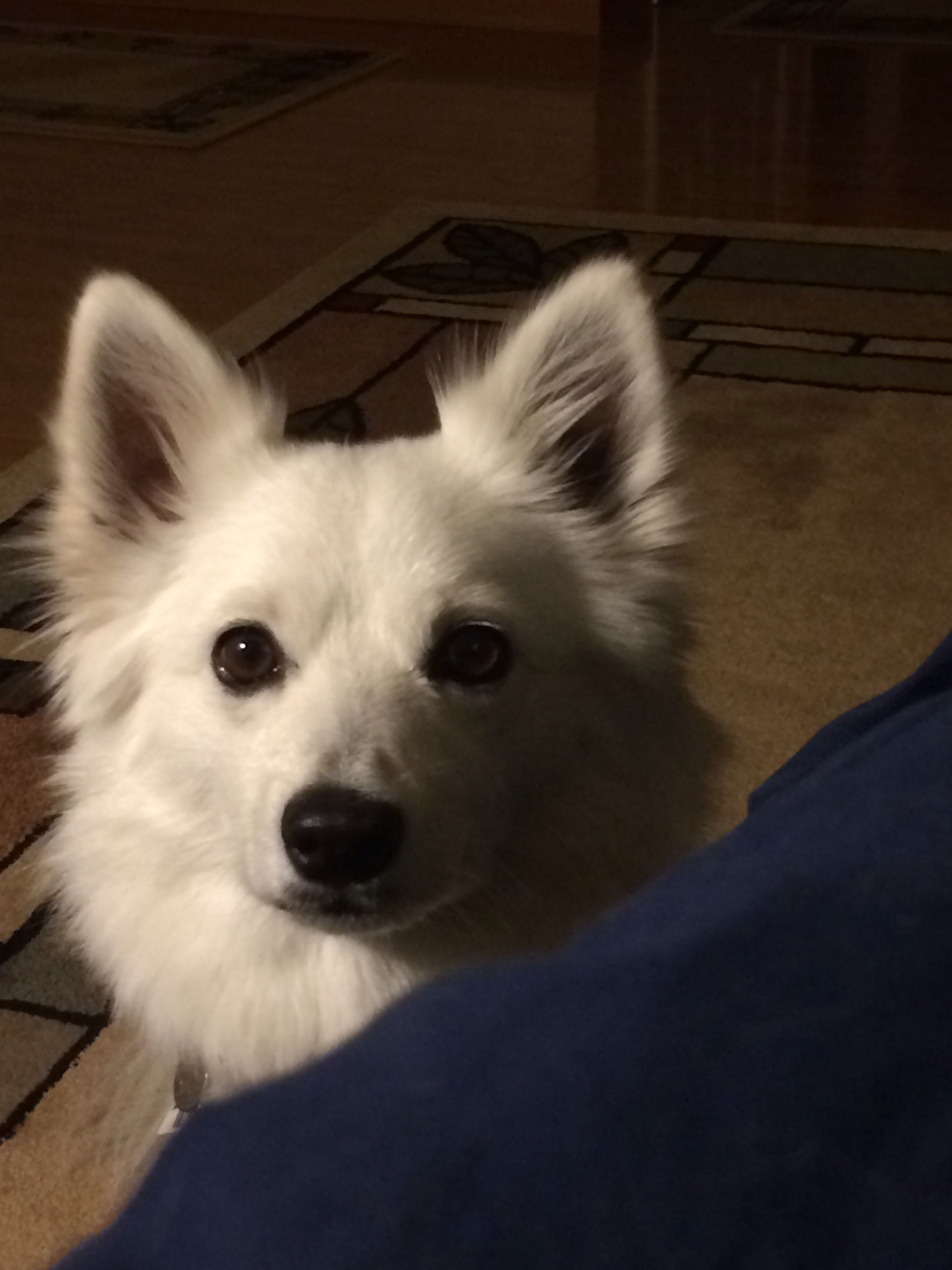 Jazz, our American Eskimo Mini