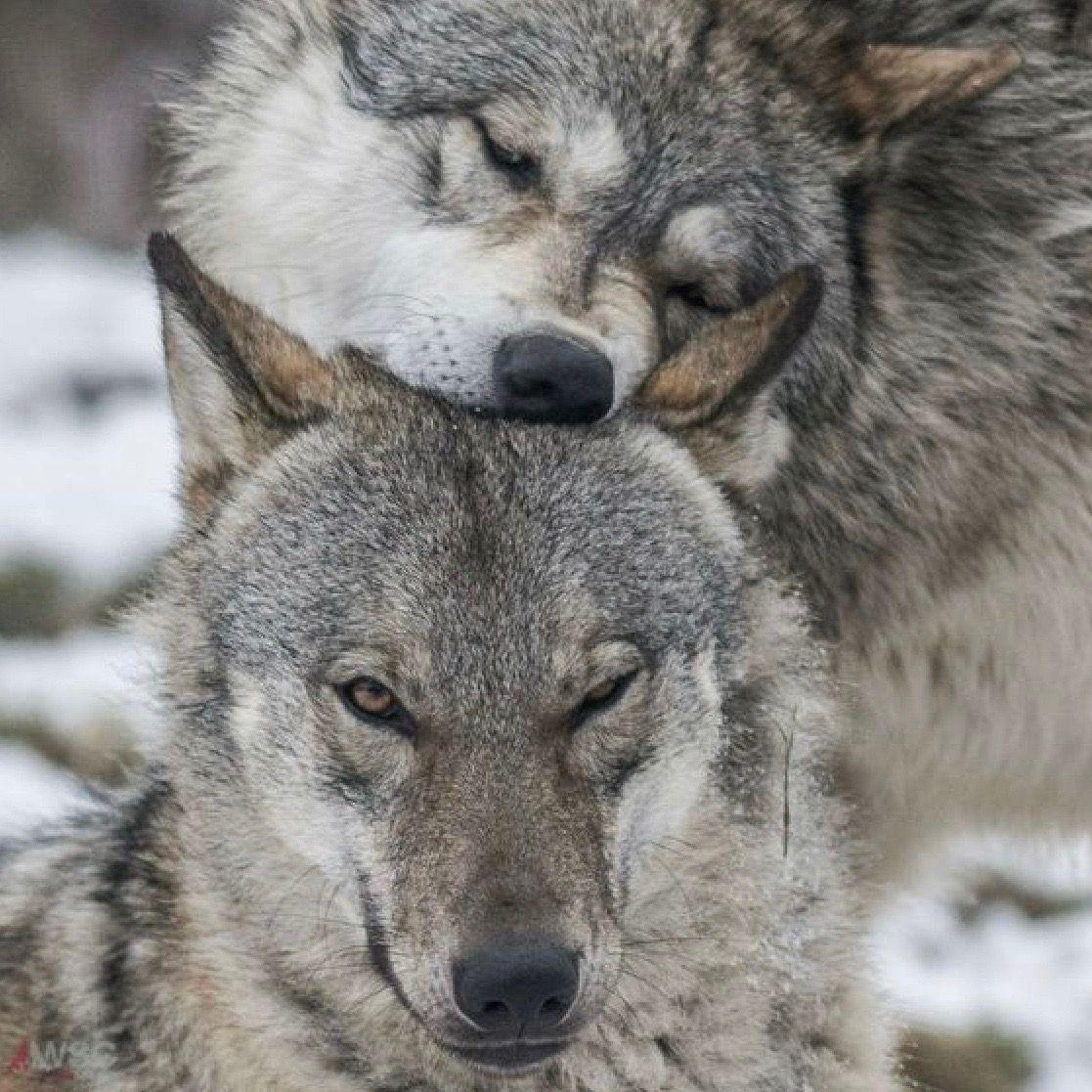 17 Lobos salvajes