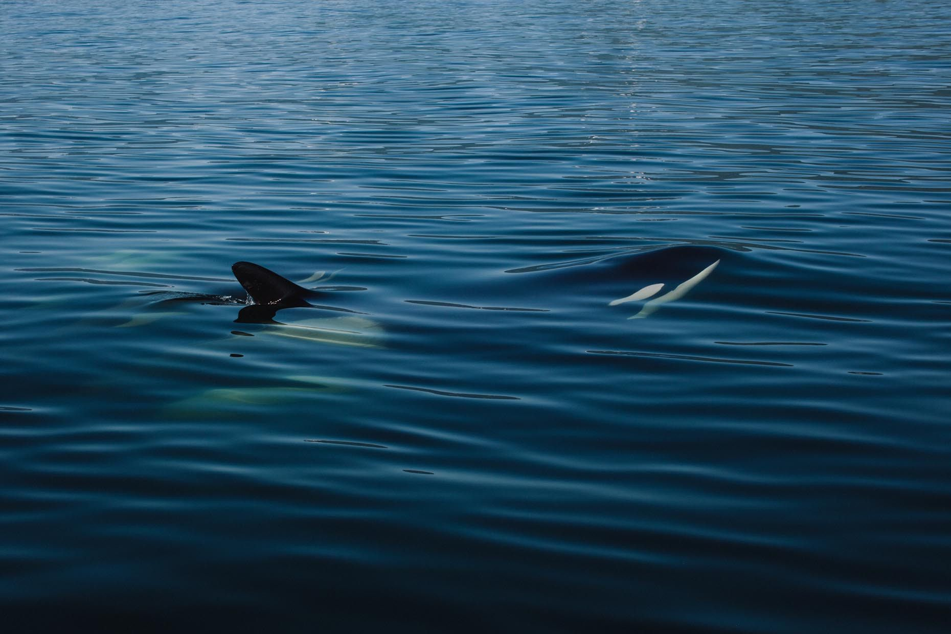 C Jeremy Koreski Orca Breaking The Surface Surface Tension Orca Sea And Ocean