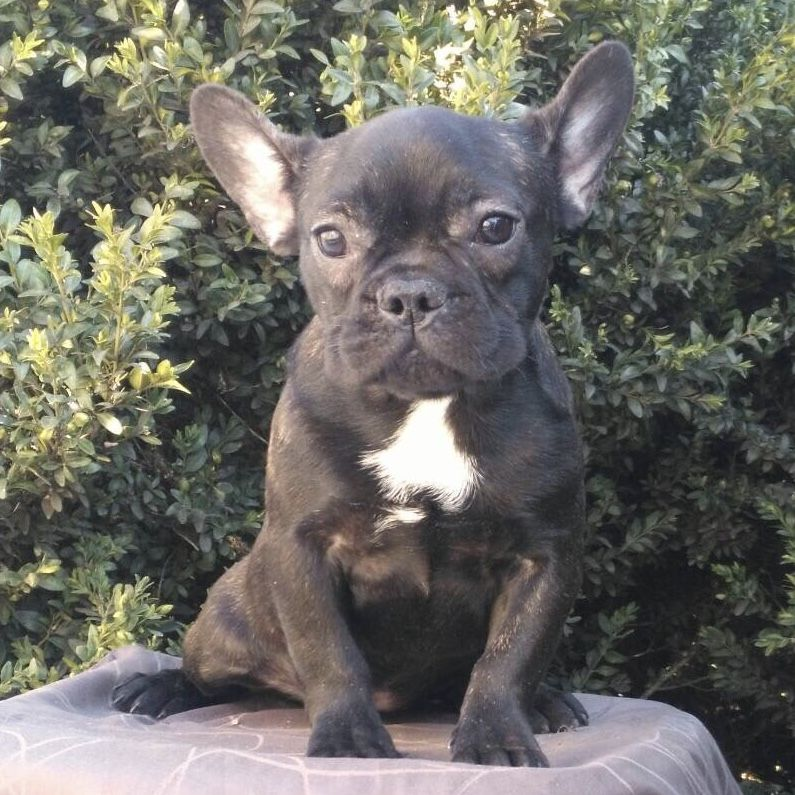 French Bulldog puppy for sale in BOSTON, MA. ADN71170 on